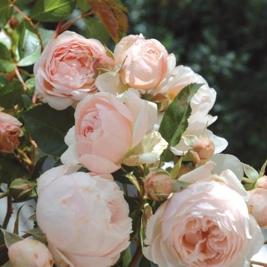 rosier-generosa-chantal-thomass-66025-1
