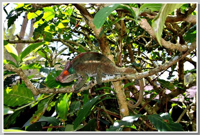 Les caméléons MADAGASCAR    FIN