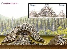 structure de hutte de castor