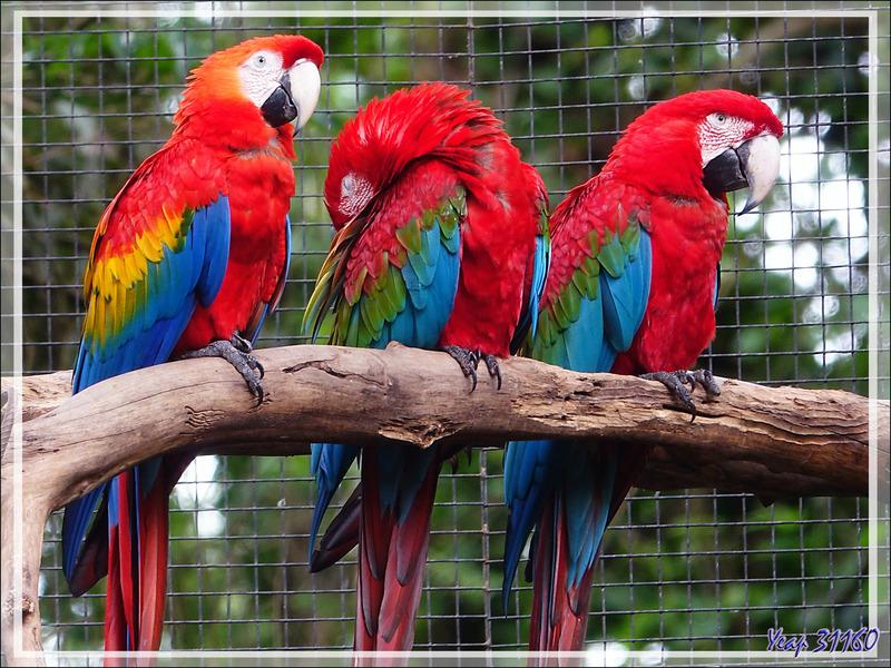 Ara rouge, Scarlet Macaw (Ara macao) - Parque das Aves - Foz do Iguaçu - Brésil