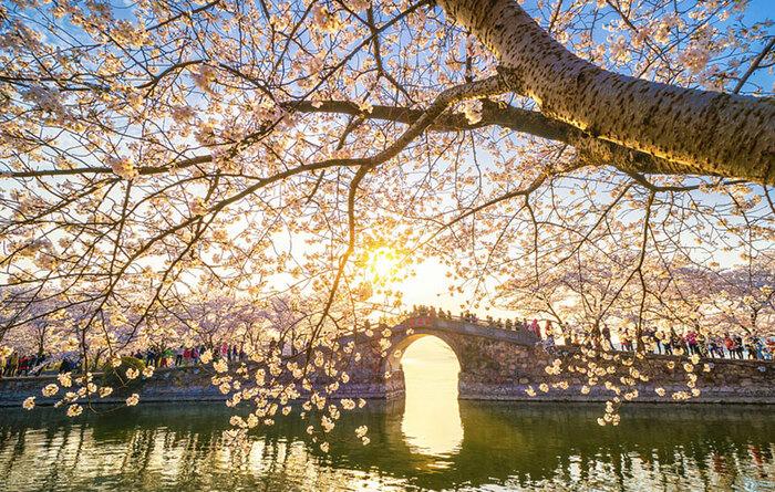 Les cerisiers viennent juste de fleurir en Chine,