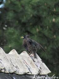Photo Oiseaux, étourneau sansonnet - 22.05.11 - 02