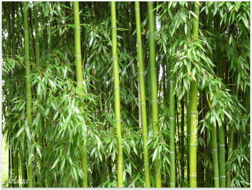 bambous st georges de montaigu