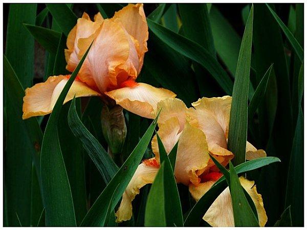 iris-orange1.jpg