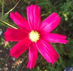Cosmos rouge
