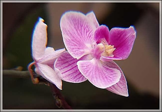 Mes chères orchidées