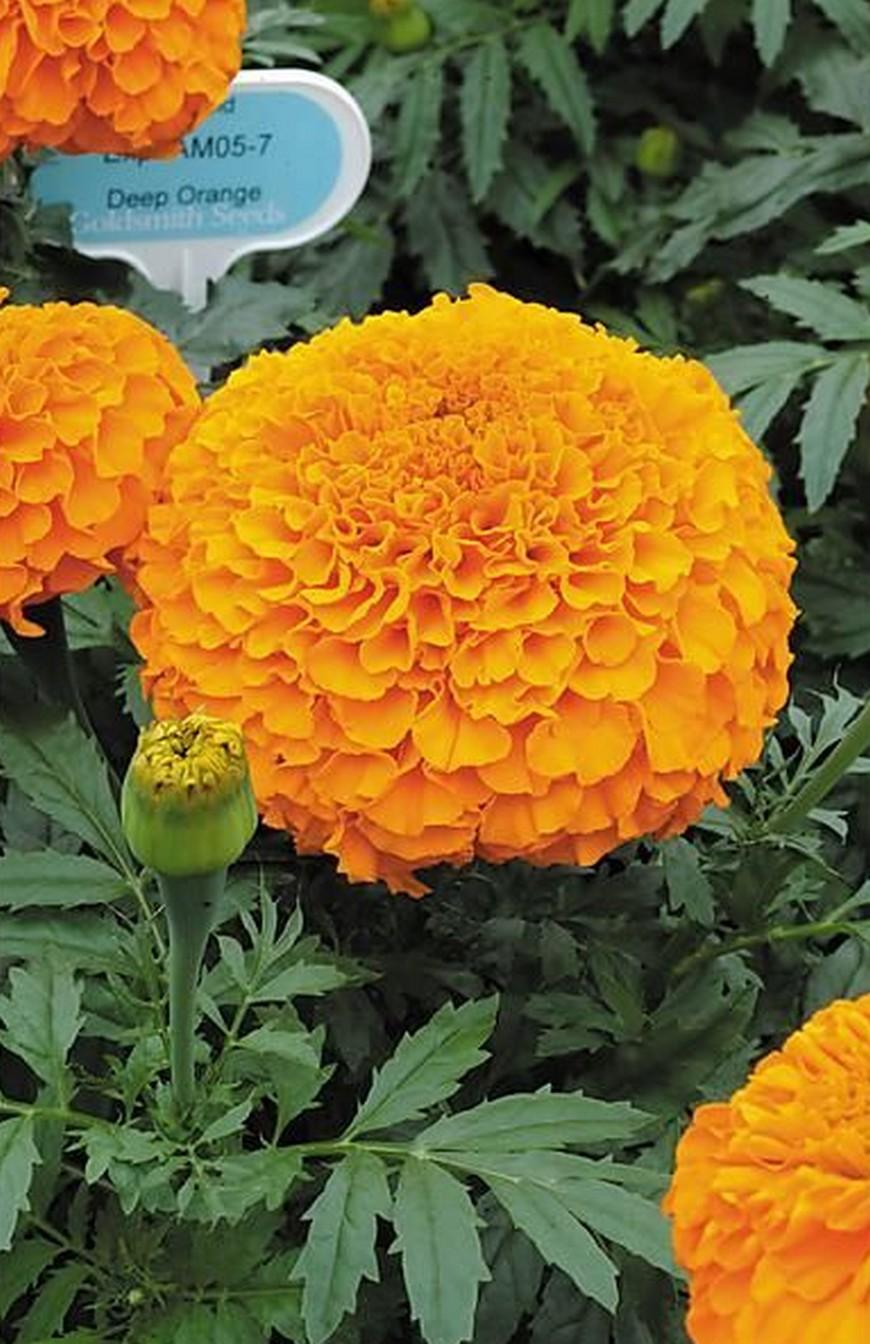 Rose d'Inde F1 Orange Lady