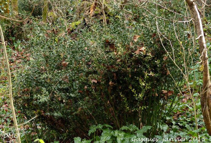 Ruscus aculeatus - petit houx - fragon