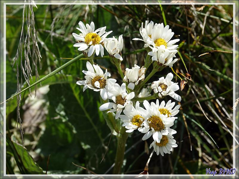 Séneçon blanc (Senecio trifurcatus) - Lac Acigami - Lapataia - Terre de Feu - Argentine