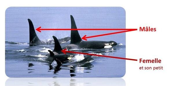 Différence de nageoire dorsale entre le mâle et la femelle