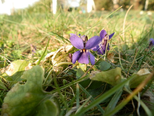 [Herbier-photo] Violettes