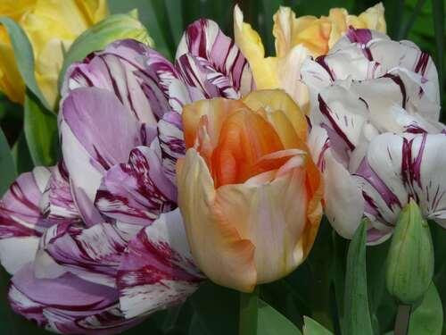 Tulipe double panachée