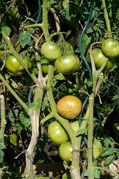 Tomates-roses-21-08-12-015.jpg