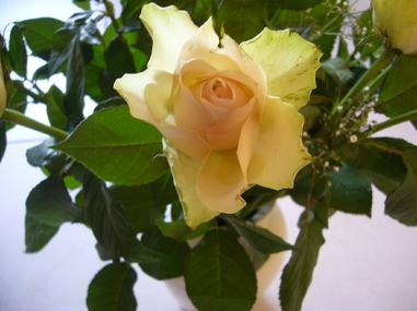 2009 - Roses jaunes