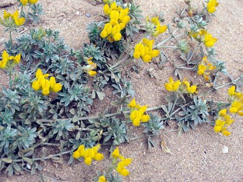 un belle fleur des sables