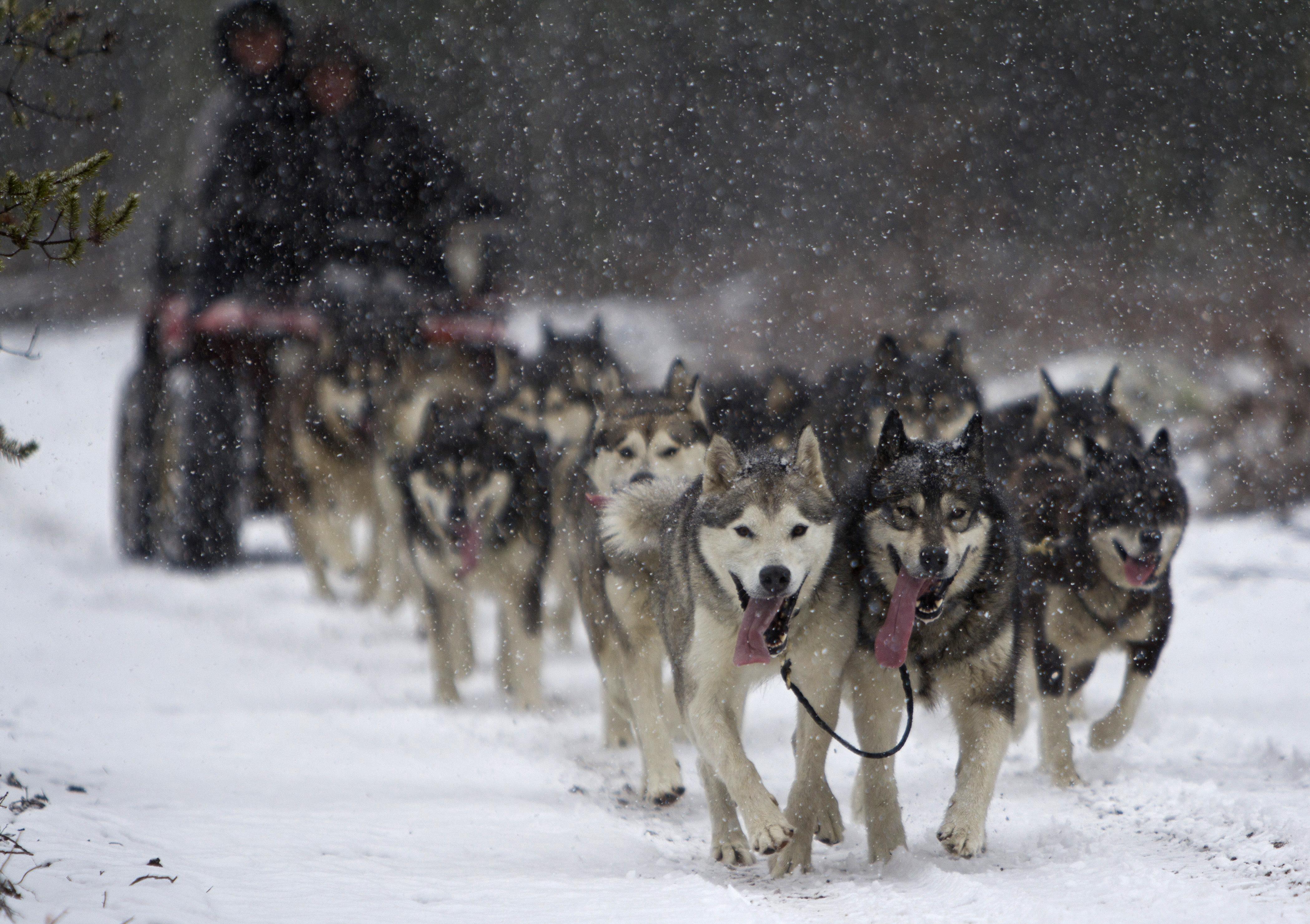 Les Chiens De Traineau World Dog S