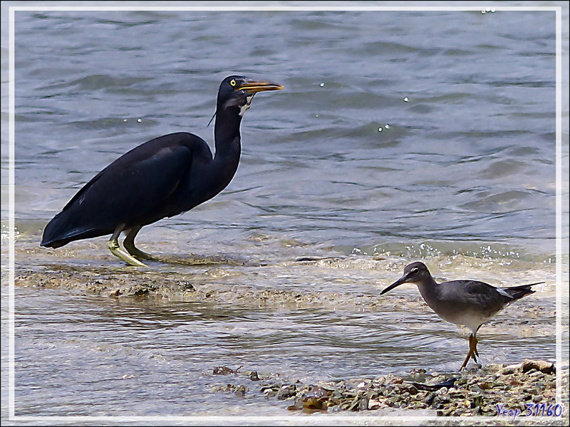 Aigrette sacrée, Pacific Reef Heron (Egretta sacra) et Chevalier errant (Kuriri) - Raiatea - Polynésie française