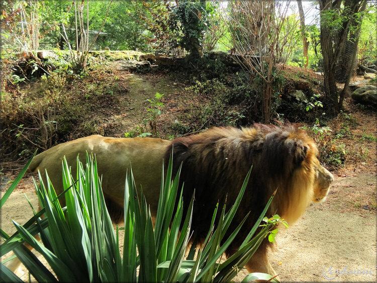 Photos de Lions (Zoo de Doué la Fontaine)