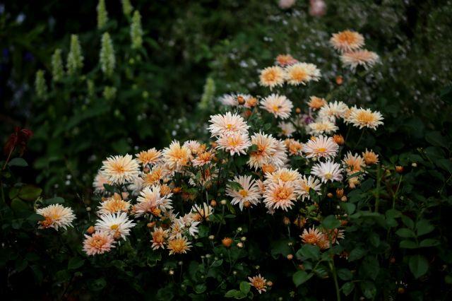 Des compagnes pour mes roses : Chrysanthemum 'Apricot Beauty'