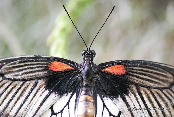 Papilio Lowi femelle