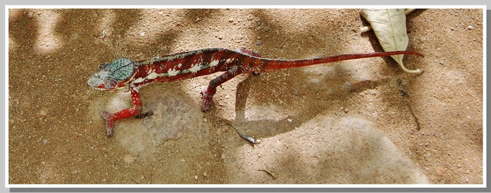 LES Caméléons Madagascar 2014