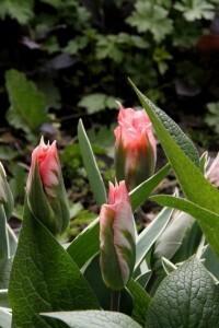Tulipes Chinatown2