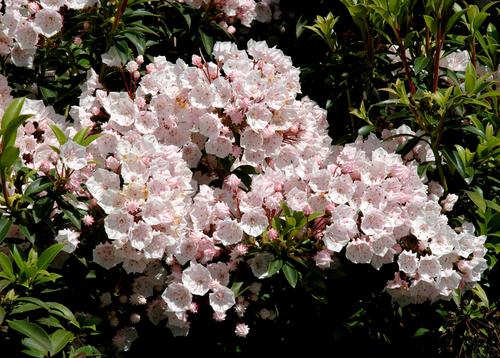 Fleurs cultivées ; Kalmia