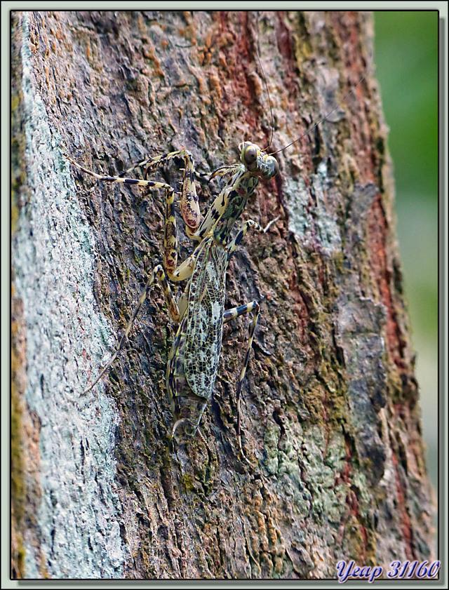 Blog de images-du-pays-des-ours : Images du Pays des Ours (et d'ailleurs ...), Camouflages: mante et opilion - Isla Bastimentos - Bocas Del Toro - Panama