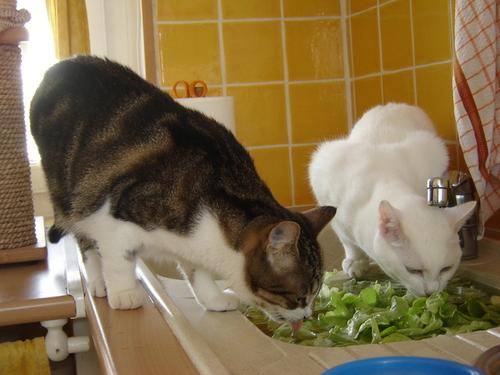 Nos chats dans le lavabo ou l'évier...