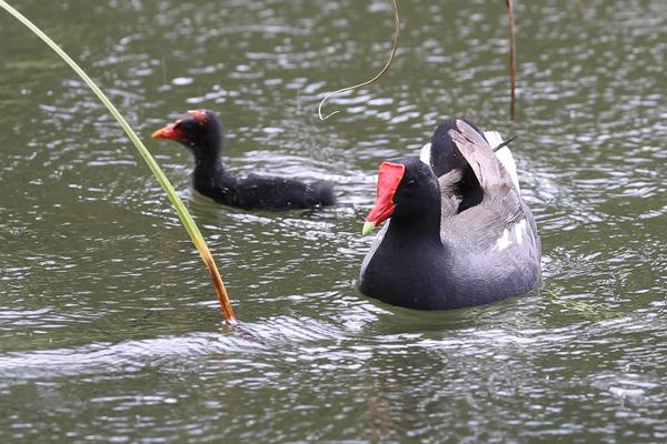 Gallinule d'Amérique - Parc Aquacole