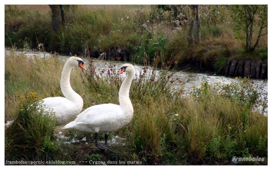 Cygnes dans le marais breton