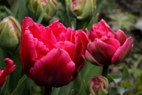 Tulipes Blue Diamond1-copie-1