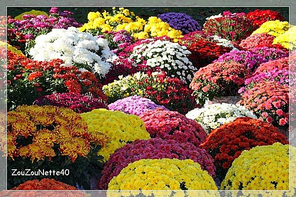 CHRYSANTHEME-N--3-.jpg
