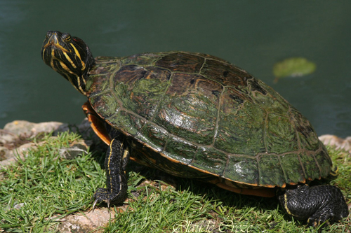 Tortue de Floride      Turtle Florida