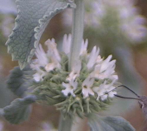Vertus médicinales des plantes sauvages : Marrube blanc