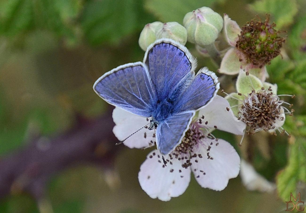 Argus Bleu / Bel Argus