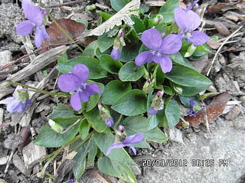 fleurs-20-et-21-03-2012-001.JPG