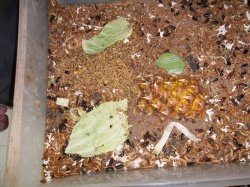Elevage des insectes