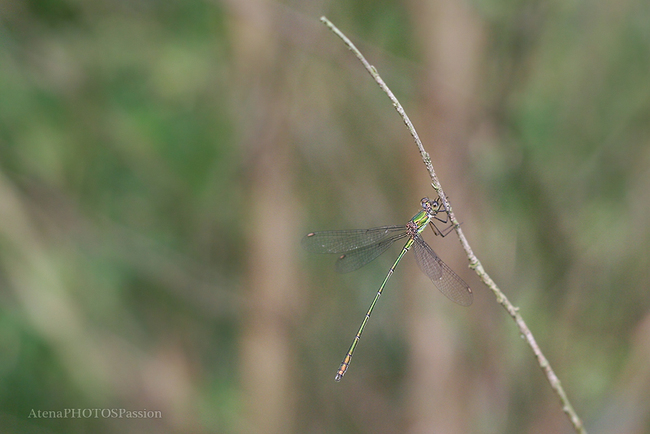 Le leste vert (Lestes viridis ou Chalcolestes viridis