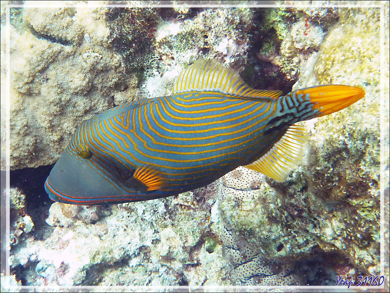 Snorkeling : Baliste strié mâle, Baliste ondulé, Baliste strié d'or, Orange-lined triggerfish, Ondulate triggerfish, Striped triggerfish (Balistapus undulatus) - Moofushi - Atoll d'Ari - Maldives