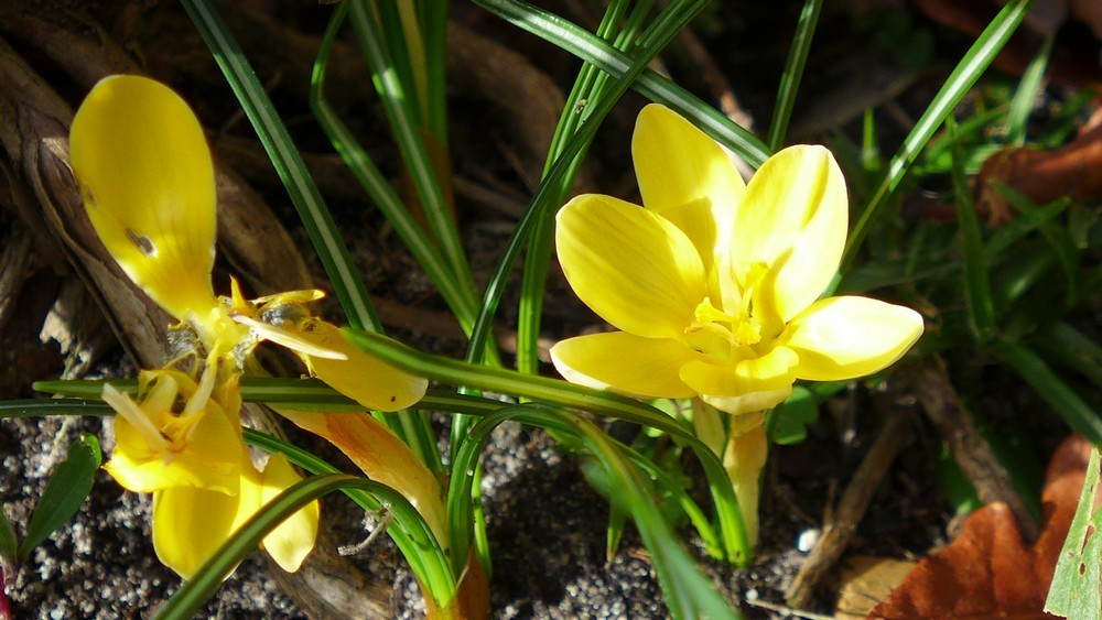 Des crocus jaunes au pied de la lavande adoptée...