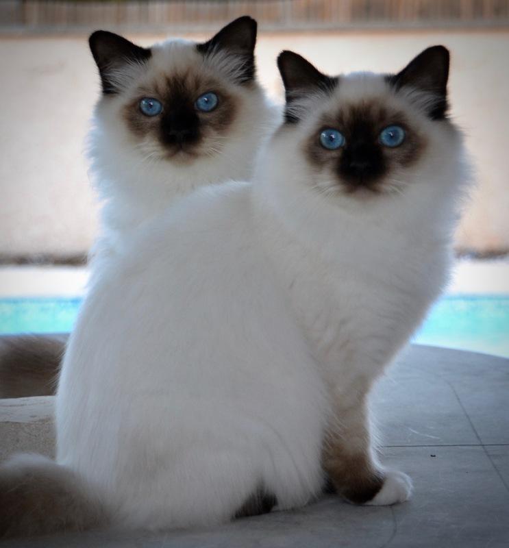 Le chat à deux tête