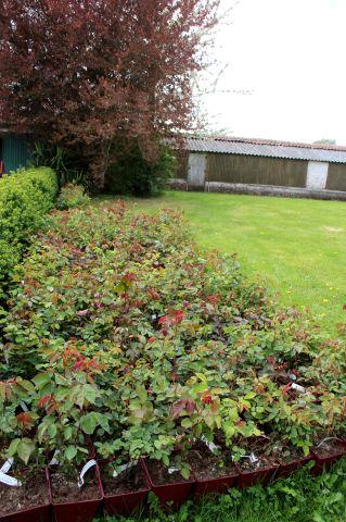 Roseraie Warren Millington : triage des rosiers