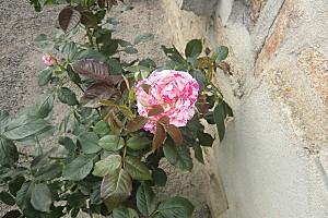 rose-005.jpg