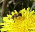 abeille-pissenlit.jpg