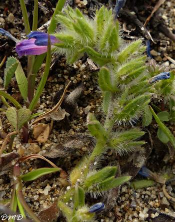 Echium arenarium  -  vipérine des sables