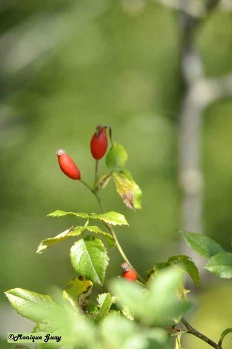 DSC0405-fruit-d'aubépine