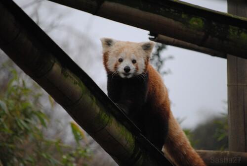 Maya, la femelle petit panda.