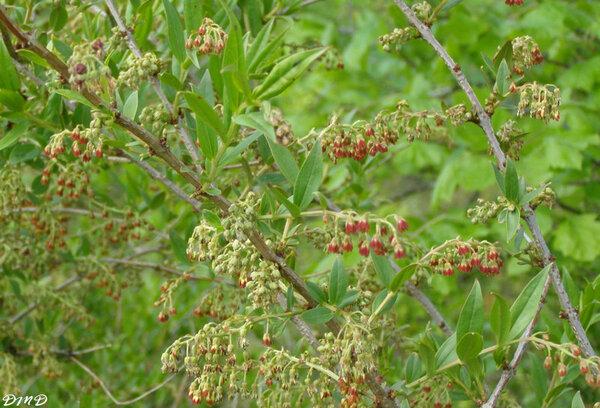 Coriaria myrtifolia - corroyère à feuille de myrte - redoul
