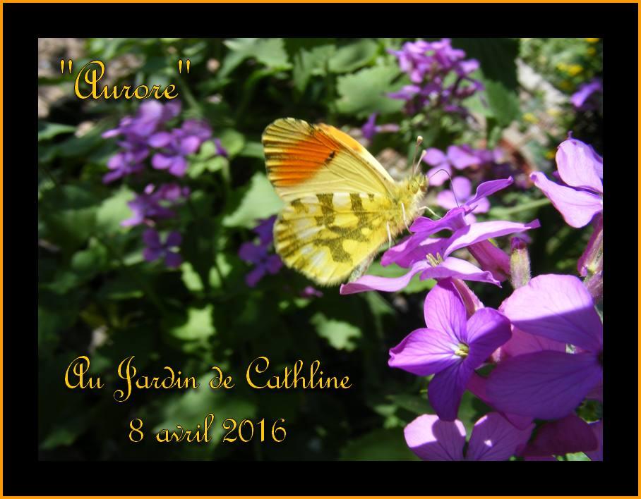 """Papillon """" l'Aurore """""""
